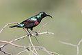 Marico sunbird, Cinnyris mariquensis at Mapungubwe National Park, Limpopo, South Africa (29945254962).jpg