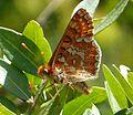 Marsh Fritillary. Euphydryas aurinia sub. sp. beckeri . u-s - Flickr - gailhampshire.jpg