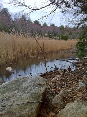 Marsh with reeds along Half Hill Brook on Old Furnace Trail.jpg
