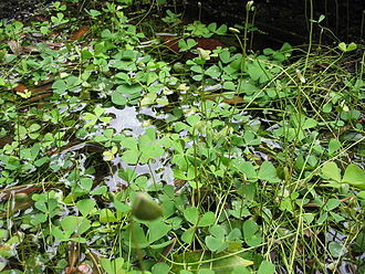 Marsilea - Marsilea hirsuta was introduced to the Azores but formerly thought to be an endemic species, M. azorica