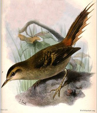 Alejandro Selkirk Island - The Masafuera rayadito is endemic to Alejandro Selkirk
