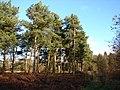 Mature Trees in Lynwode Wood - geograph.org.uk - 1123738.jpg