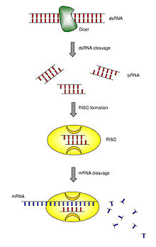 Structural Biochemistry/Nucleic Acid/Biology of Cancer - Wikibooks