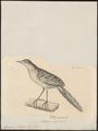 Megalurus palustris - 1700-1880 - Print - Iconographia Zoologica - Special Collections University of Amsterdam - UBA01 IZ16200071.tif