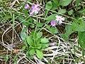 Mehlprimel (Primula farinosa) 01.jpg