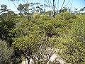Melaleuca adnata (habit).JPG