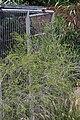Melaleuca armillaris 3zz.jpg