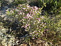 Melaleuca bisulcata (habit).JPG