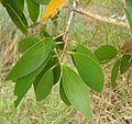 Melaleuca viridiflora foliage.jpg