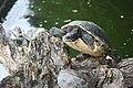 Memleben, Erlebnistierpark, Gelbwangenschmuckschildkröte.jpg
