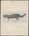 Menopoma (Abranchus) alleghanensis - 1700-1880 - Print - Iconographia Zoologica - Special Collections University of Amsterdam - UBA01 IZ11400175.tif