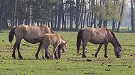 Merfelder Wildpferde.jpg