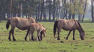 Dülmen pony - Dulmen ponies in the Merfelder Bruch