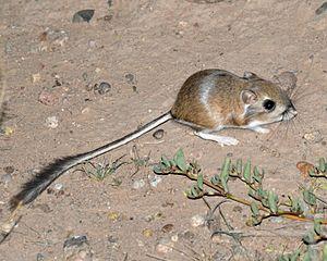 Merriam's kangaroo rat - Merriam's Kangaroo Rat, in the wild, Luna County New Mexico.