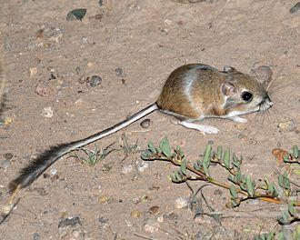 Merriam's kangaroo rat - Merriam's kangaroo rat in the wild, Luna County, New Mexico