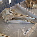 Ginkgo-toothed beaked whale (skull)