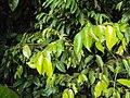 Meteoromyrtus wynaadensis 32.JPG