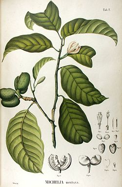 Michelia montana from Blume Flora Javae.jpg