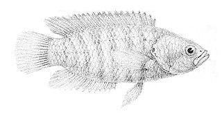 <i>Microctenopoma</i> genus of fishes