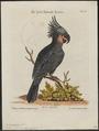 Microglossum aterrimum - 1700-1880 - Print - Iconographia Zoologica - Special Collections University of Amsterdam - UBA01 IZ18600039.tif