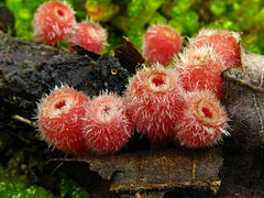 Microstoma floccosum httpsuploadwikimediaorgwikipediacommonsthu