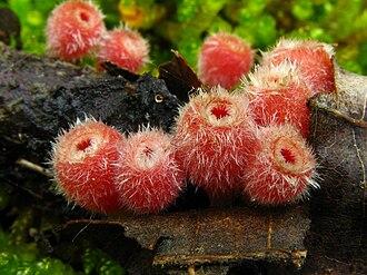 Sarcoscypha occidentalis - Image: Microstoma floccosum 13099