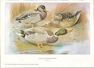 John Guille Millais - Mallard from British Surface Feeding Ducks by J G Millais