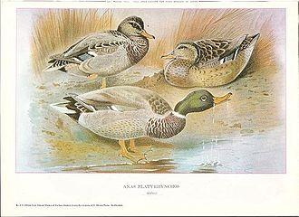 John Guille Millais - Mallard from British Surface Feeding Ducks by J G Millais