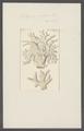 Millepora aspera - - Print - Iconographia Zoologica - Special Collections University of Amsterdam - UBAINV0274 111 07 0012.tif