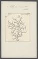 Millepora ramosa - - Print - Iconographia Zoologica - Special Collections University of Amsterdam - UBAINV0274 111 07 0011.tif