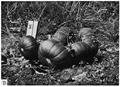 Milllán 1947 - Cucurbita maxima var. zapallito. B. la misma planta con las hojas cortadas para mostrar la disposición de los frutos.png