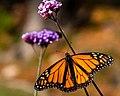 Monarch Butterfly (15353124408).jpg