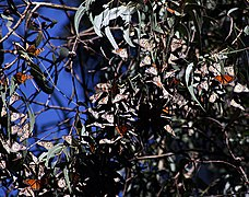 Monarch butterflies in Santa Cruz 10.jpg
