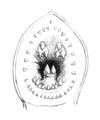 Mordacia mordax-Mouth PZSL1851.png