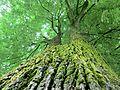 Mosses on the trees 2.JPG