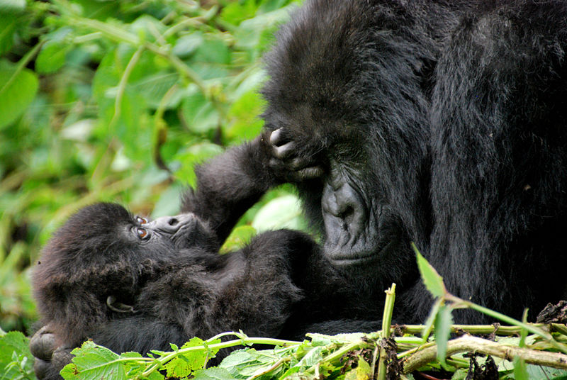 Mother and baby mountain gorillas. Volcanoes National Park, Rwanda. From 10 of the Best Experiences on a Safari in Africa