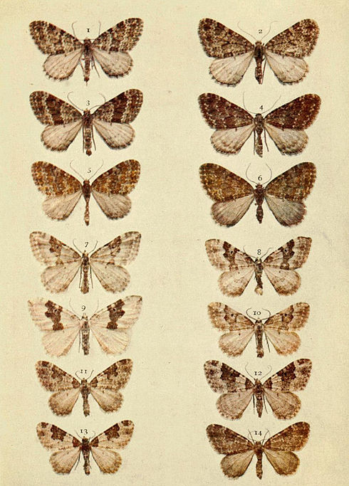 Moths of the British Isles Series2 Plate080.jpg