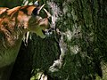 Mountain-lion-cougar-tree-wildlife 12 - West Virginia - ForestWander.jpg