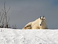 Mt Goat Snow 128.jpg