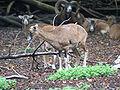 Mufflon (Ovis ammon musimon).JPG