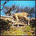 Mule deer, Rancho Conejo Village - 1.jpeg
