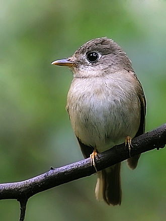Brown-breasted flycatcher - Image: Muscicapa muttui