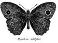MycalesisAdolphei.png
