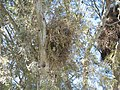 Myiopsitta monachus -large nests in gum trees.jpg