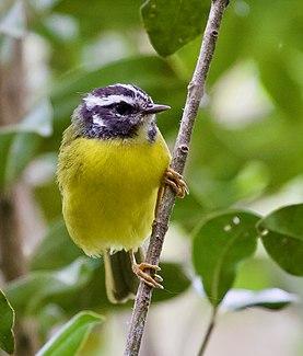 Santa Marta warbler species of bird