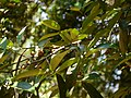 Myristica dactyloides Gaertn. (32381137034).jpg
