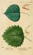 NAS-099 Populus tremuloides & grandidentata.png