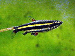 Nannostomus marginatus.jpg