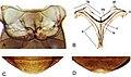 Nanosaphes (10.3897-zookeys.768.24423) Figure 17.jpg