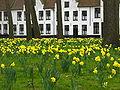 Narcissen, Begijnhof, Brugge.jpg